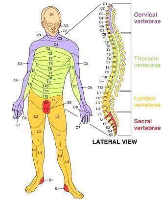 Coluna e Dermátomos associados com nervos craniais, cervicais e espinhais